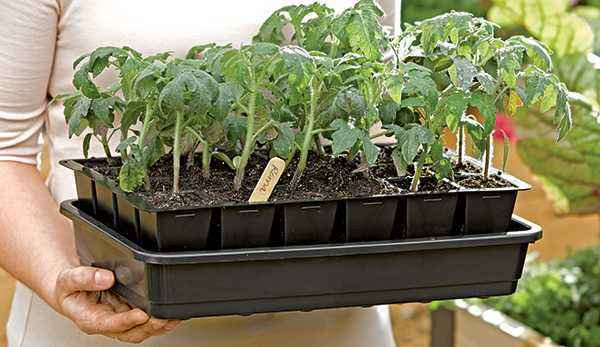 How to stimulate the growth of tomato seedlings
