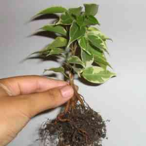 How to transplant Benjamin's ficus at home