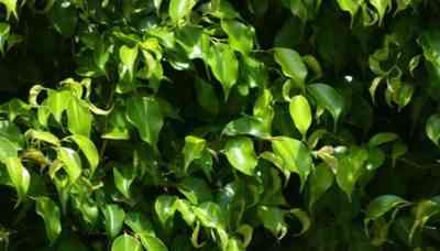 How to transplant ficus