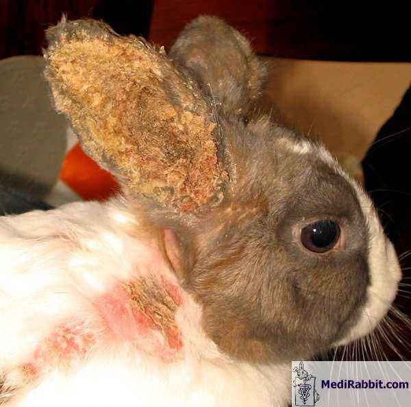 How to treat ear scabies in rabbits