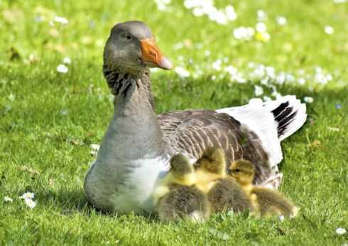 How to treat goslings that fall on their feet