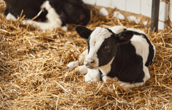 How to treat salmonella in calves
