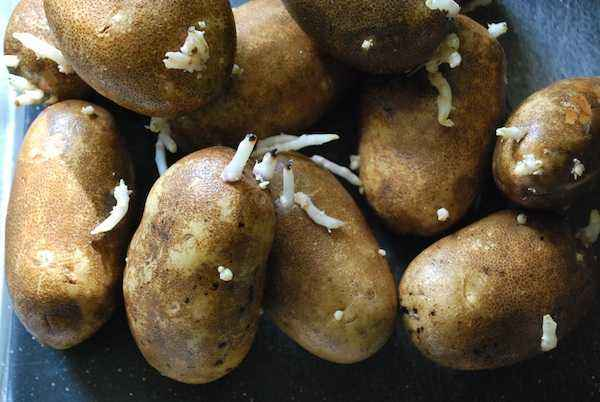 How to use sprouted potatoes