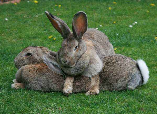 How to vaccinate decorative rabbits