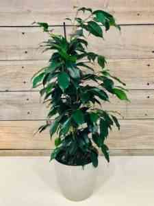 How useful and harmful is ficus