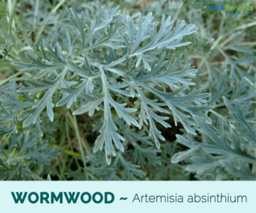 In what places does wormwood grass grow