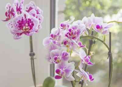 Is it dangerous to keep an orchid at home