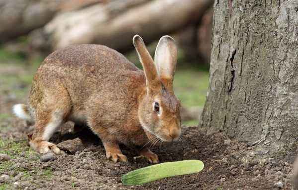 Is it possible to add cucumbers to the diet of rabbits