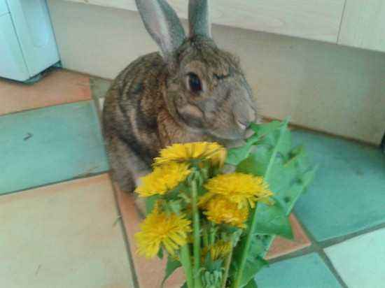 Is it possible to give rabbits dandelions