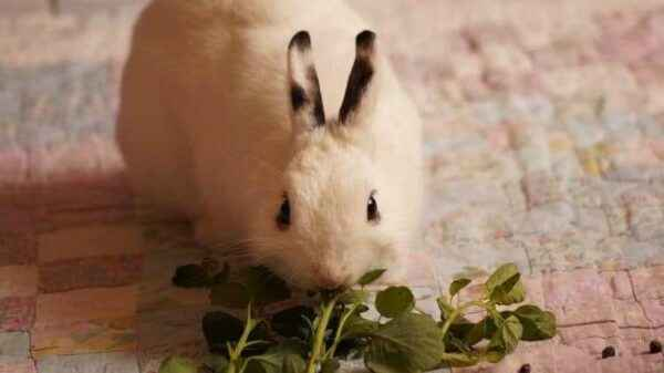Is it possible to introduce sorrel in the diet of rabbits