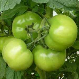 Kibo Tomato Description