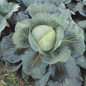 Kilaton Cabbage Variety