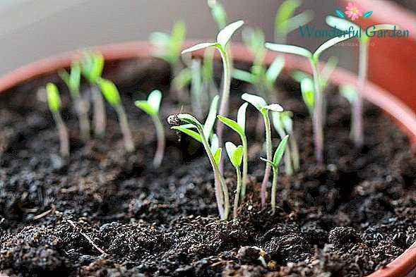 Lunar calendar planting tomatoes
