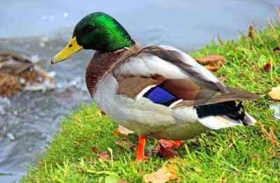Mallard Duck Characteristics