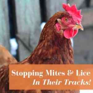 Methods and means for combating chicken mites