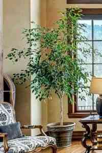 Methods and patterns of weaving ficus Benjamin at home