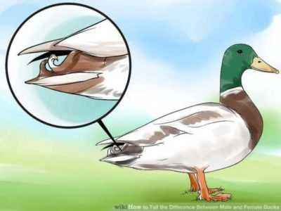 Methods to distinguish a young drake from a duck