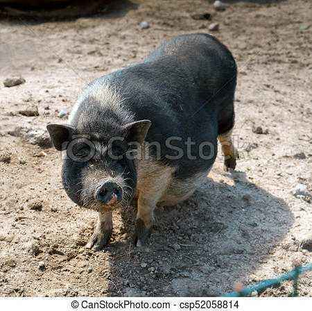 Mirgorod breed of pigs