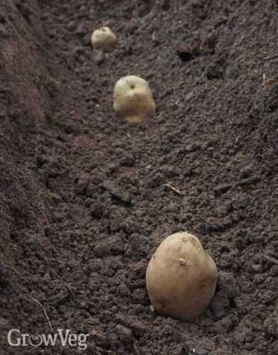 Necessary fertilizers for potatoes when planting in the hole