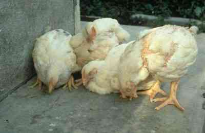 Newcastle disease in chickens