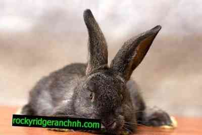 Okroli rabbits at home