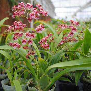 Orchid cultivation oncidium