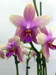 Orchid Liodoro and its care