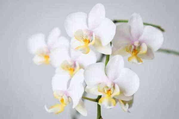 Orchid variety Phalaenopsis Cascade
