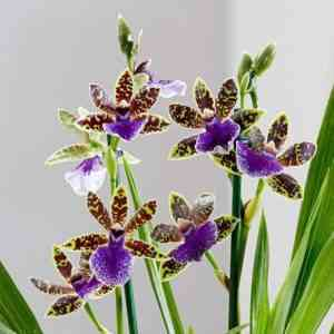 Orchid Zygopetalum