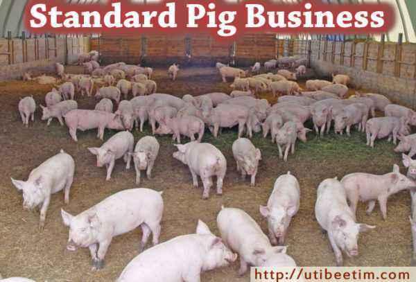 Organization of a mini pig farm business plan