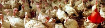 Organization of a turkey farm