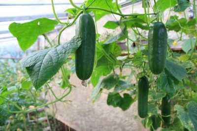 Outdoor planting of cucumbers