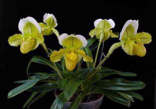 Paphiopedilum Orchid Care
