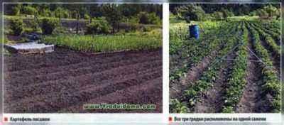 Permissible depth for planting potatoes