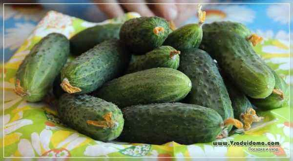 Peronosporosis of cucumbers and methods of dealing with it