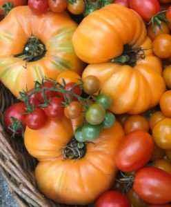 Persimmon tomato variety