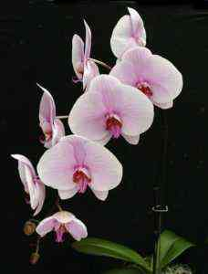 Phalaenopsis Mix Care