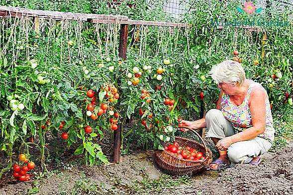 Pick of tomatoes in 2020 according to the lunar calendar