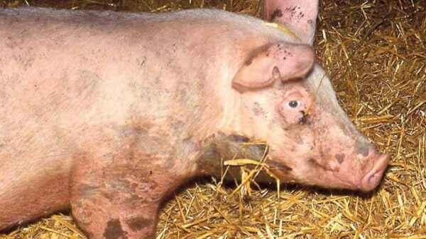 Pig erysipelas