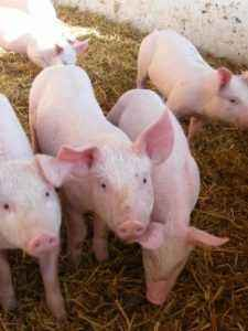 Pig Feeding Rules