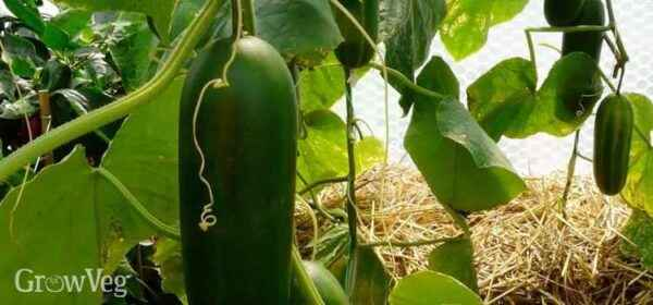 Planting and growing cucumbers in a greenhouse
