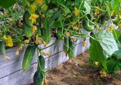 Planting Cucumbers By Yulia Minaeva Farmer