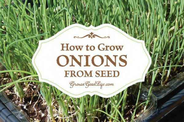 Planting onion seeds on greens