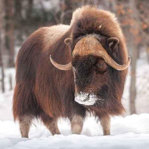 Polar musk ox