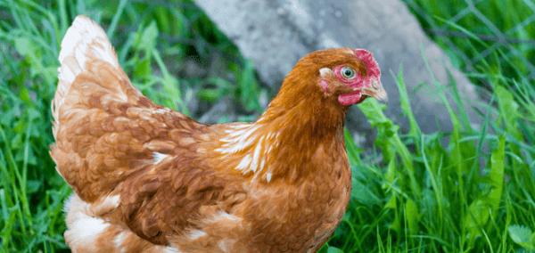 Popular egg breeds of chickens