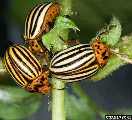 Popular Potato Varieties That the Colorado Beetle Does Not Eat