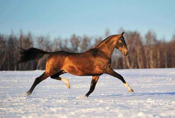 Popular Russian horse breeds