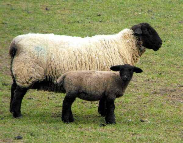 Popular varieties of sheep of meat breeds