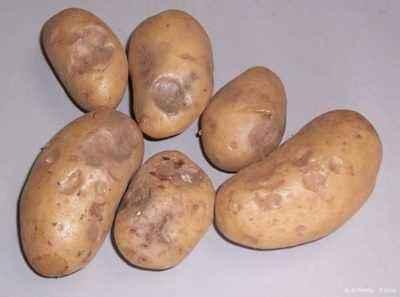 Potato freezing point