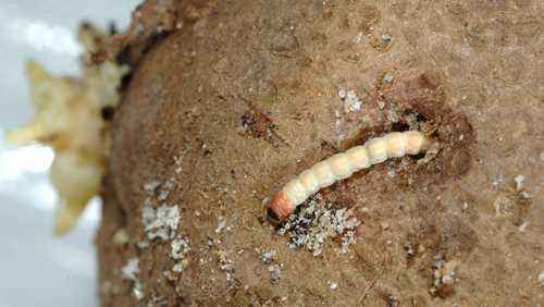Potato Moth Control Methods